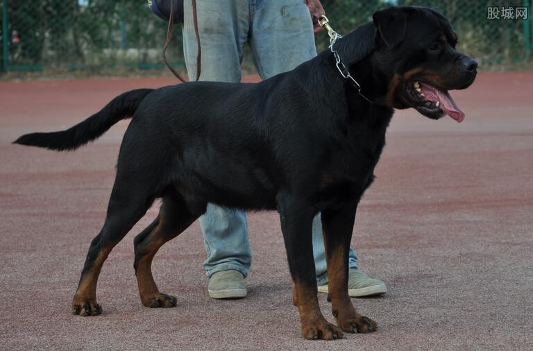 罗威纳犬多少钱