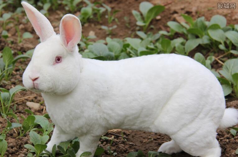 2017獭兔价格