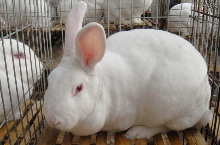 獭兔多少钱