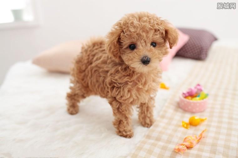 贵宾犬价格一般多少钱