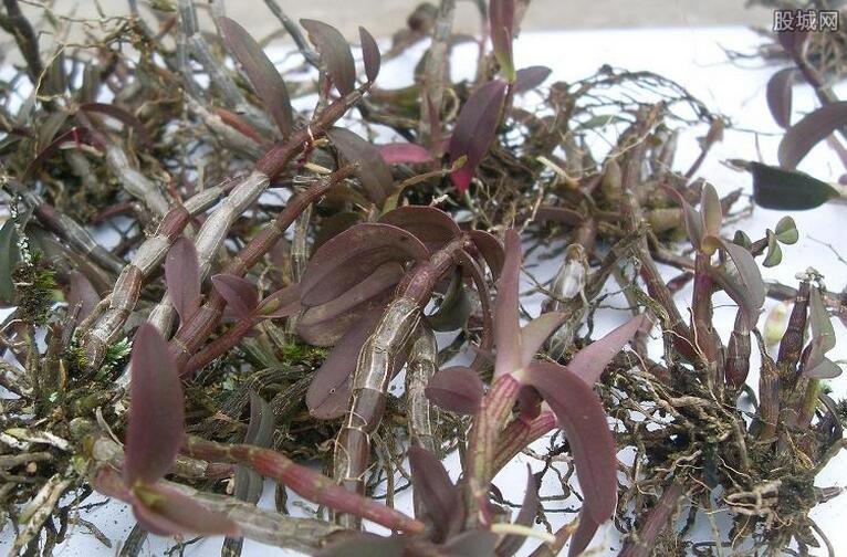 紫皮石斛价格