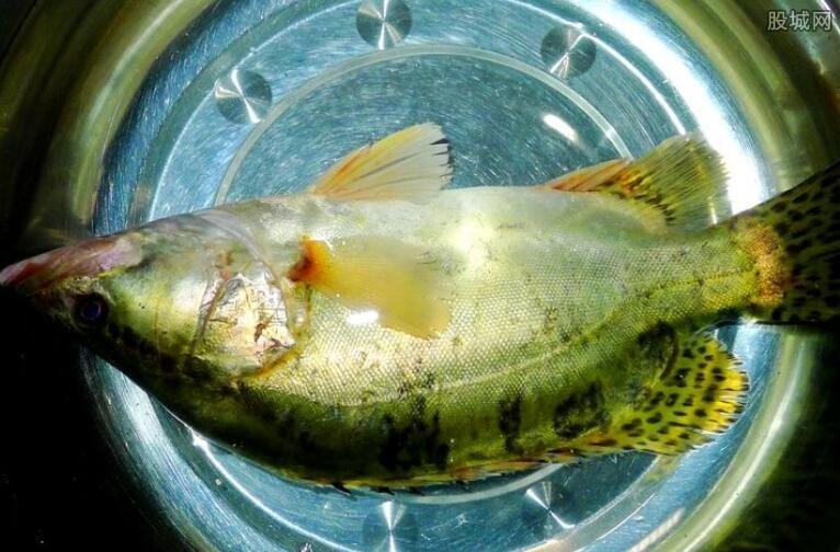 北京桂鱼多少钱一斤_桂鱼多少钱一斤 野生桂鱼多少钱一斤-股城消费