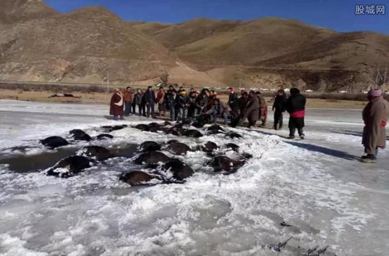 牦牛被淹死在冰河