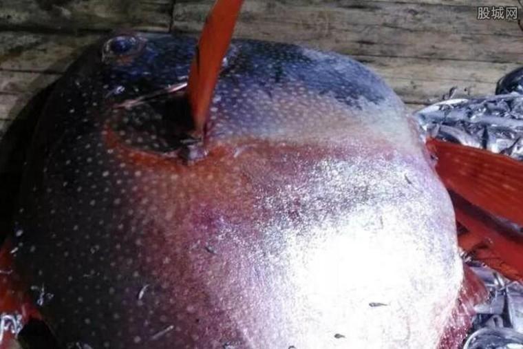 渔民捕获月亮鱼