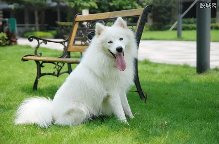 萨摩犬多大_萨摩耶乘地铁离家出走 萨摩耶犬多少钱一只