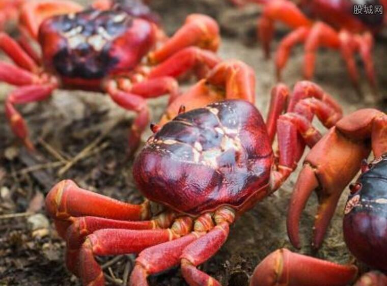 澳洲红蟹能吃吗