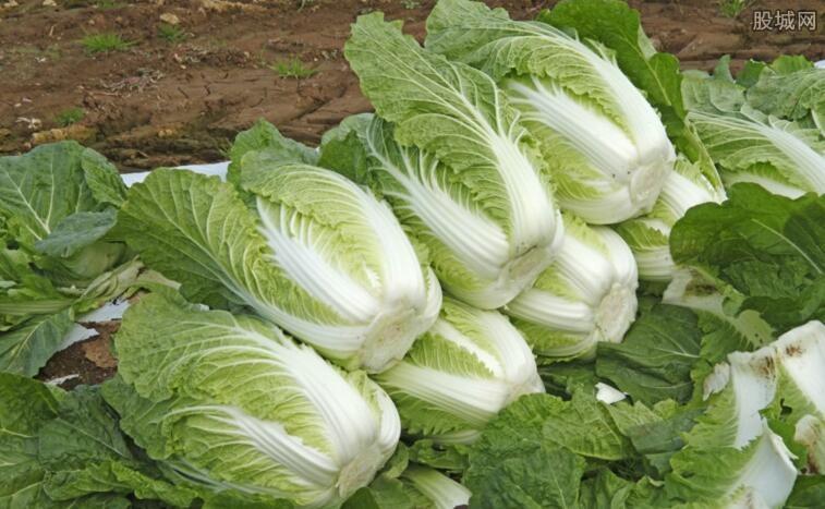 中国白菜泡菜出口量大