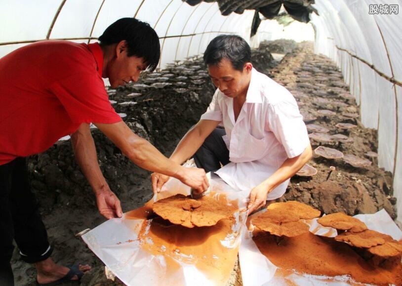 灵芝孢子粉服用方法