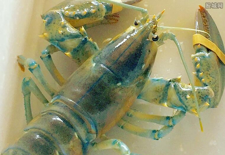 罕见棉花糖龙虾出现美国餐馆