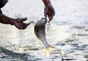 """十几元一斤""""鳕鱼""""为油鱼 专家:大量油脂会致腹泻"""