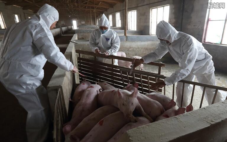 非洲猪瘟有什么危害