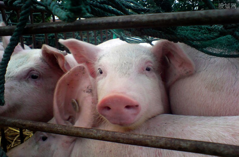 拍卖300头生猪成交价