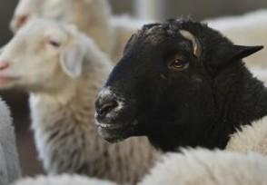 500只羊一夜暴毙 养殖户经济损失惨重