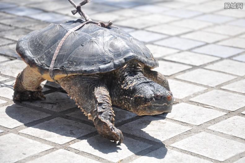 鳄龟被兜售