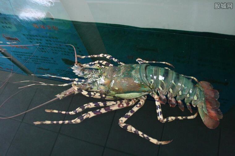 餐厅发现蓝色龙虾 餐厅惊现罕见蓝色虾令人惊讶