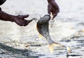 鱼王被拍708888元 头鱼被拍出天价