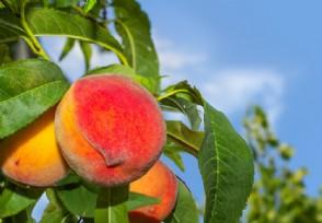 造谣水蜜桃打防腐剂获刑 水蜜桃一般多少钱一斤