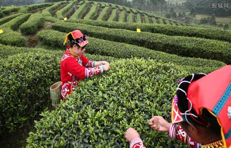 古树茶如何分辨