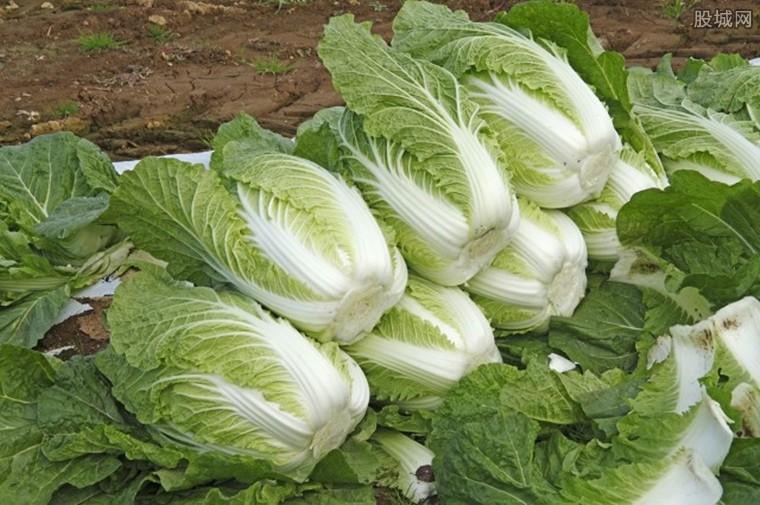 韩国大白菜34元1颗 韩国白菜价格贵主妇腌不起泡菜