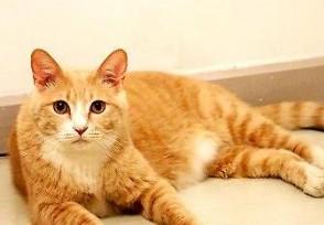 一只橘猫大概多少钱 宠物橘猫品种及价格介绍