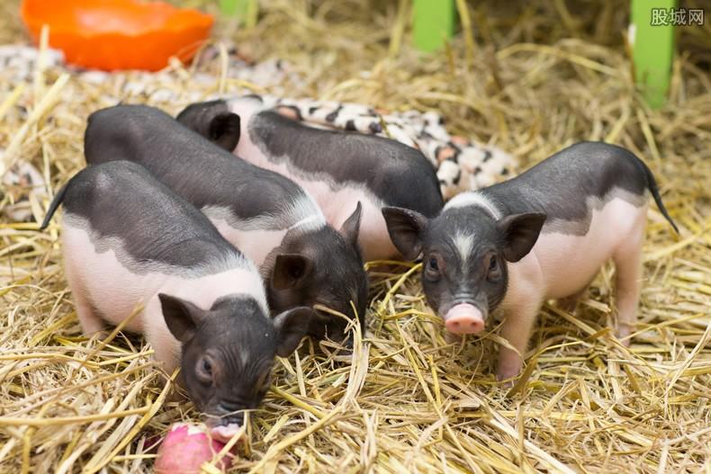 养猪月薪高