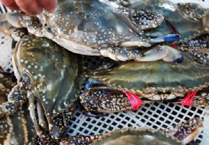 日本螃蟹拍出500万日元 螃蟹约合人民币32.1万