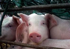"""生猪价格最新行情 今日猪价下跌趋势一路""""绿灯"""""""