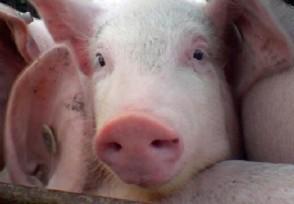 猪肉今日价格 春节猪肉会不会上涨呢?