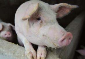 神农架现非洲猪瘟 当地已启动应急响应机制