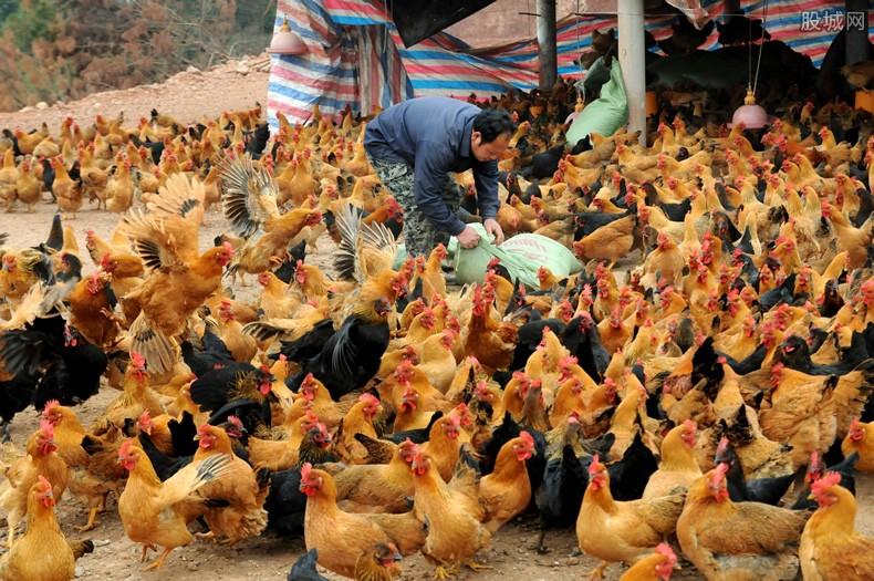 英国民众抢购母鸡热 当地每人限购3只鸡
