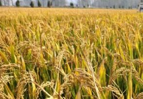 网传粮食危机要囤米 粮食涨价的信号发布了?