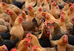 土鸡多少钱一斤 今日最新市场价格介绍