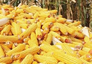 2020玉米多少钱一斤 价格走势预测分析