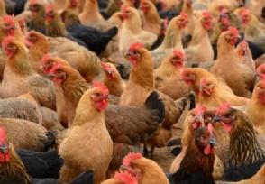 美农场14万只母鸡面临安乐死 因疫情影响无法销售