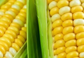 6月玉米能涨价吗 请看最新行情预测