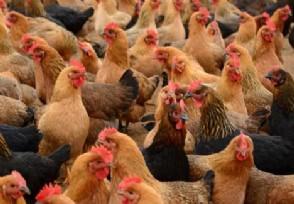 全国将逐步取消活禽市场交易鸡鸭或集中屠宰冰鲜上市
