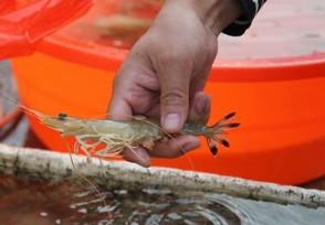 虾价创五年新低45规格卖多少钱一斤