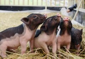 猪价已连续6周上涨8月猪肉价格走势怎么样?