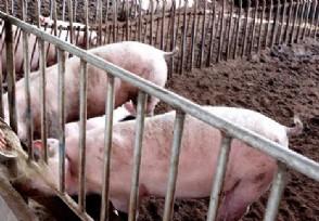 """官方谈生猪产能问题下半年""""二师兄""""持续上涨吗"""