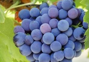 天价葡萄一串8.5万花近十年配种才开发而成