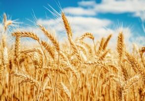 小麦多少钱一斤 2020下半年小麦市场价格行情