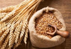 8月14日小麦价格行情后期小麦还能涨回来吗