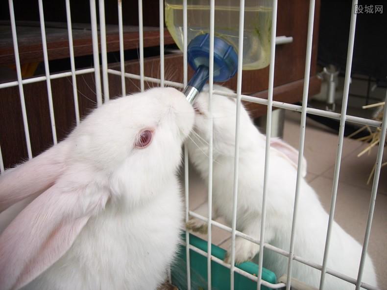 冒充美洲侏儒兔