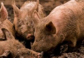 波兰暴发非洲猪瘟超百头病猪被屠杀养殖户获得补偿