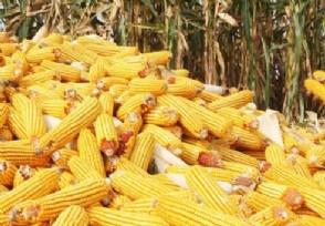 下半年玉米价格最新预测目前多少钱一斤?