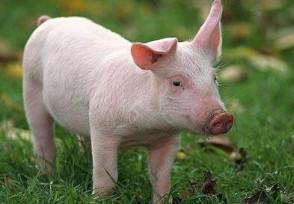 2020中秋猪价是涨是跌?最新预测数据来了!