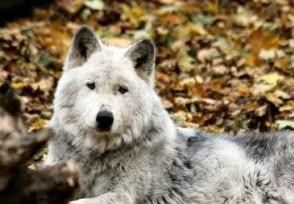 喂狼吃草被列黑名单游客外出游玩要文明遵守规定