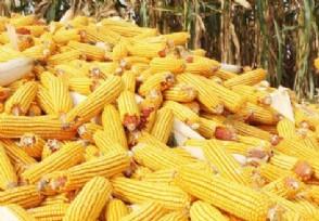 2020玉米价格最新行情预测 后期走势会涨价吗?