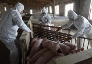 宁南现非洲猪瘟疫情要求做到扑杀无害化处理