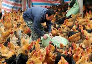 土鸡多少钱一斤 与饲料鸡有什么不一样的?